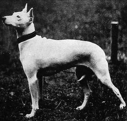 original English White Terrier (Fox Terrier x Italian Greyhound)