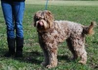Labradoodle Puppy Training Tips. Simba is a Goldendoodle but this will still be helpful :)