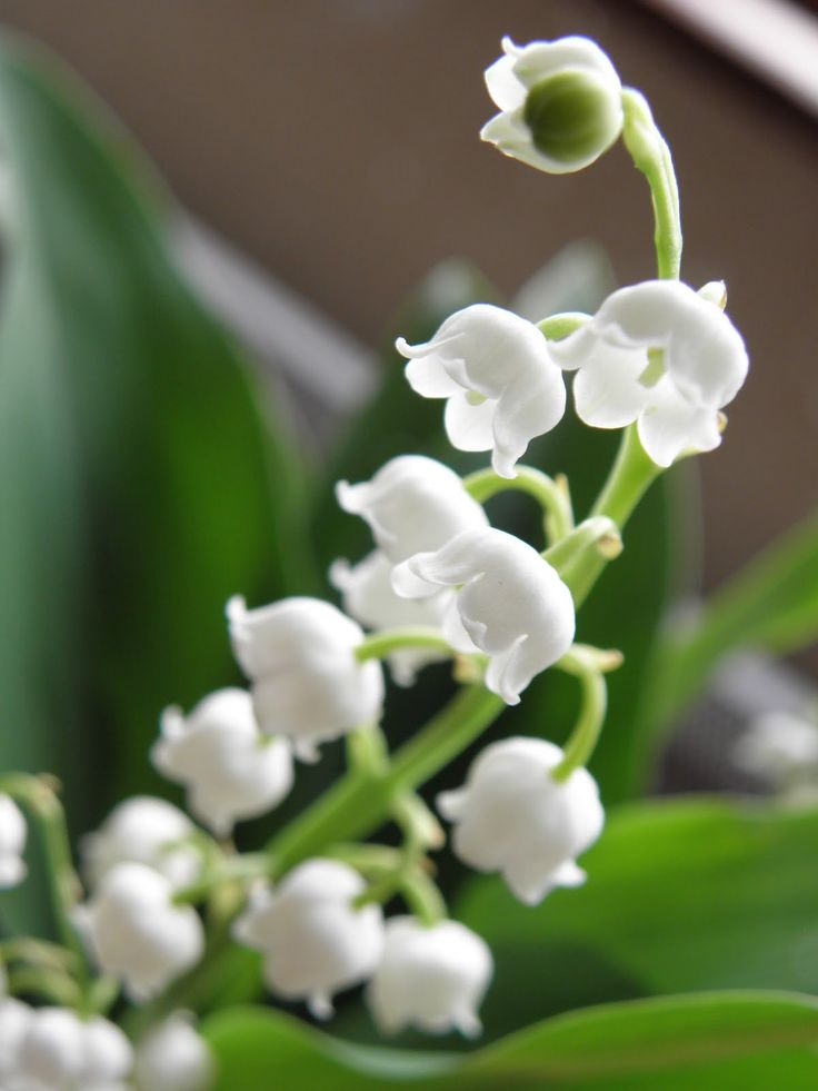 muguet bing images flower power pinterest lilies lily of the valley and the o. Black Bedroom Furniture Sets. Home Design Ideas