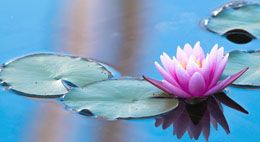 What Does a Water Lily Symbolize?