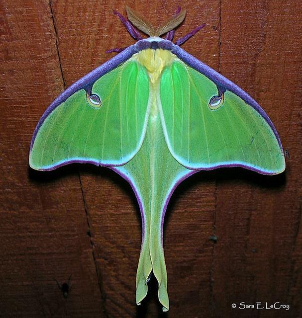 124 Best Luna Moth Images On Pinterest Butterflies Moon Moth And Moth