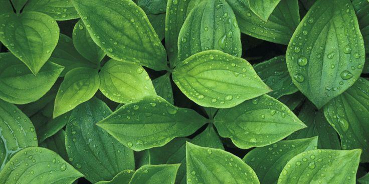 Plantele medicinale și pericolul supradozelor
