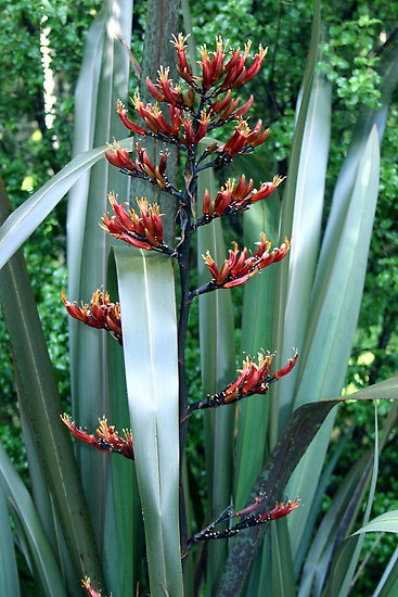 Phormium tenax   New Zealand Flax-  Harakeke ------ Have this growing in my…