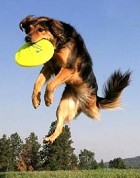 Jumping dog: 3 Legs Dogs, Dogs Club, Dogs Tail, Google Search, Legs Wonder, Hawaii Dogs, Dogs Rules, Jumping Dogs, Devine Dogs