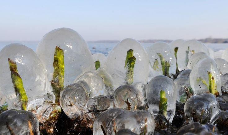 Reed sprouts are covered with thick ice at lake Zwischenahner Meer ind Bad Zwischenahn, northern Germany. (AP)