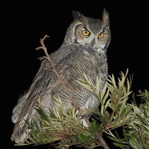 Great Horned Owl Owl Stuff Pinterest