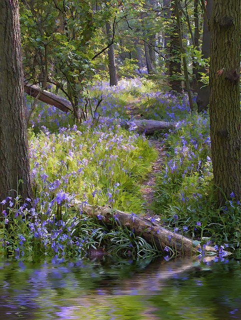djferreira224:  Bluebell wood by Angel Taylor .Hello friends on Flickr.