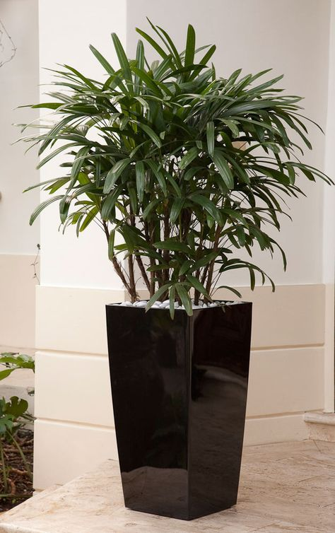 Raphis palm, often called Lady Finger Palm, has gorgeous dark green fan-shaped fronds.  . It remains compact and never outgrows its indoor setting. It has a narrow, upright growth habit (and furry trunk) so it doesn't swallow space in a room. Elegant and well behaved.... this palm offers easy-care elegance to patios, porches, and indoor spaces.  Botanic name: Rhapsis excelsia  If your plant produces small plants at its base, you can carefully remove them and pot them as gifts for friends.