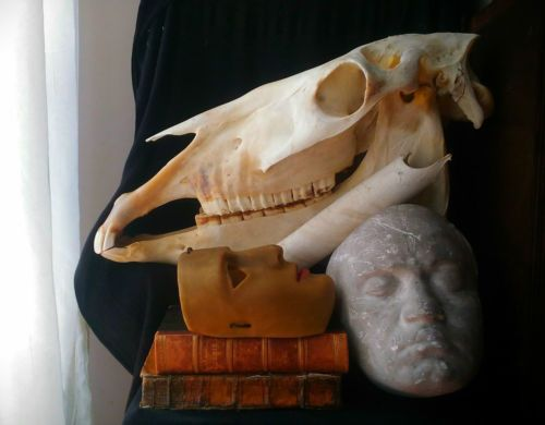 Teschio-tassidermia-cavallo-Taxidermy-skull-horse-oddities-oddity-Wunderkammer