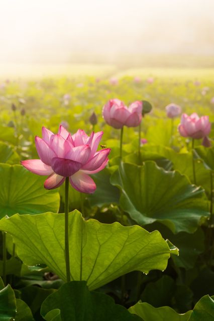 ~~Dream lotus by aniki03~~