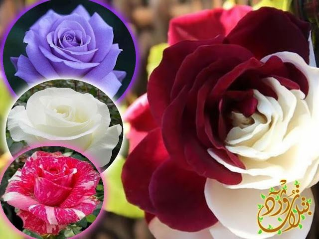 Pin By Qahtanadnaeef On اشجار مزهرة In 2020 Rose Plants Flowers