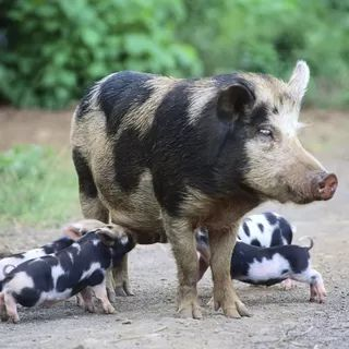 Care of Pre-Weaned Pigs BABY PIGS ARE SO CUTE WHY EAT THEM