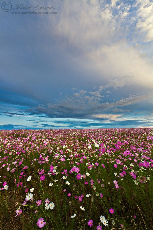 An endless field of wild cosmos flowers, blooming at the height of autumn (fall) every year on the South African Highlands Meander.