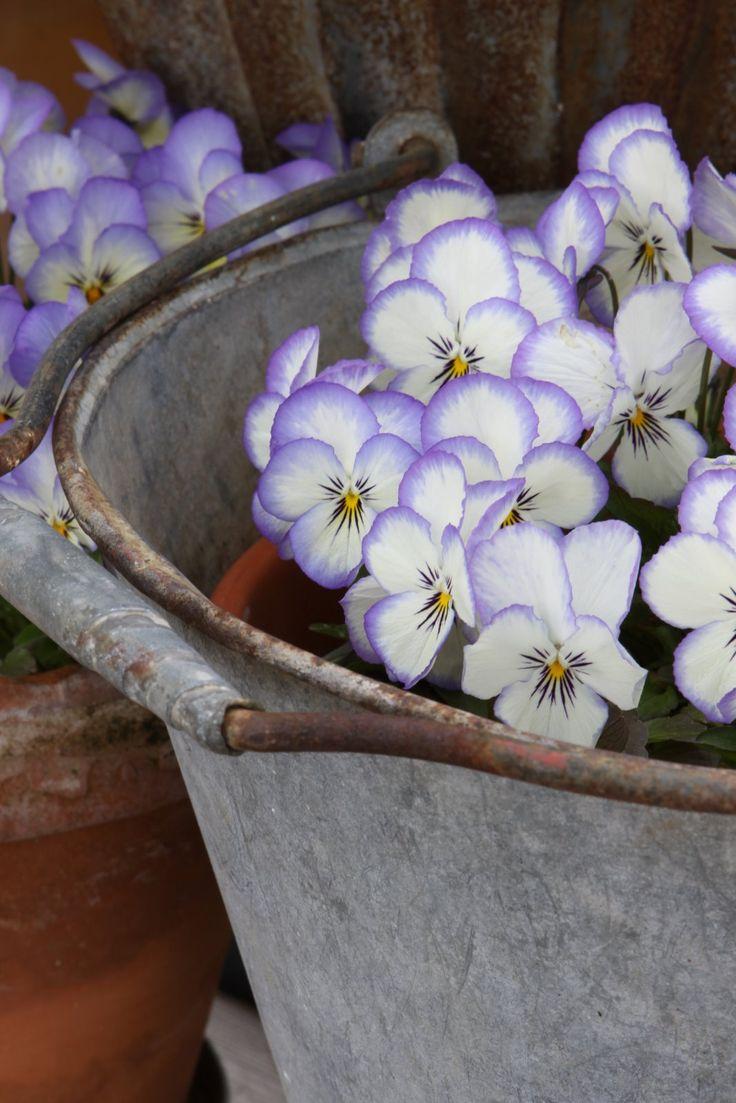 Zinc bucket with violas.