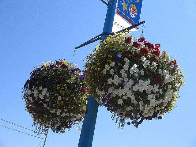 Marine Drive Summer Hanging Baskets by the City of White Rock!