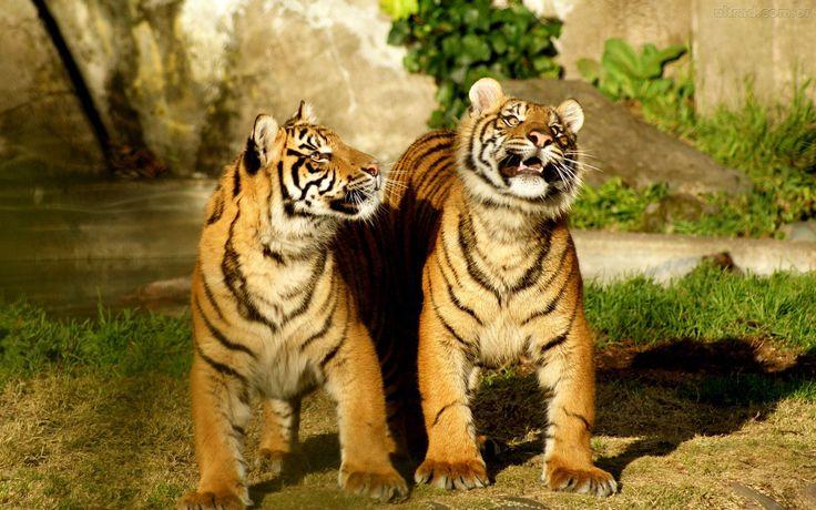 fotos-de-papel-gatos-engracados-parede-e-tigres-402743.jpg (imagem JPEG, 1920 × 1200 pixels) - Redimensionada (53%)