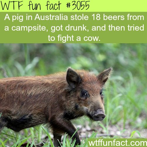Pig in Australia drinks beer and fights a cow -  WTF fun facts