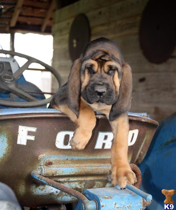 bloodhound dawgy.
