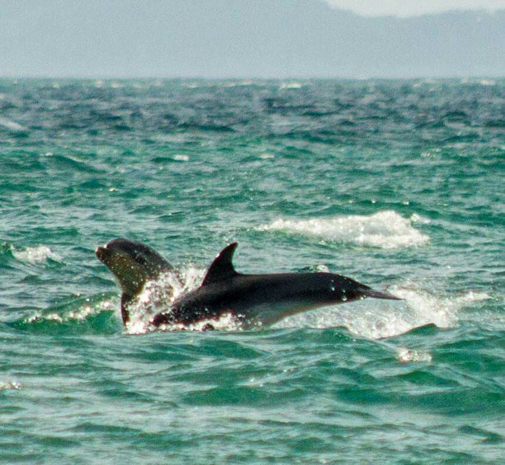 Dolphins frolicking off Whangaparaoa