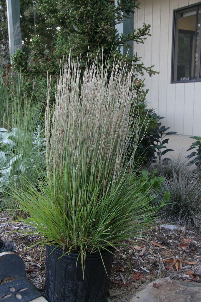 1000 images about little bluestem short grasses on for Short grasses for landscaping