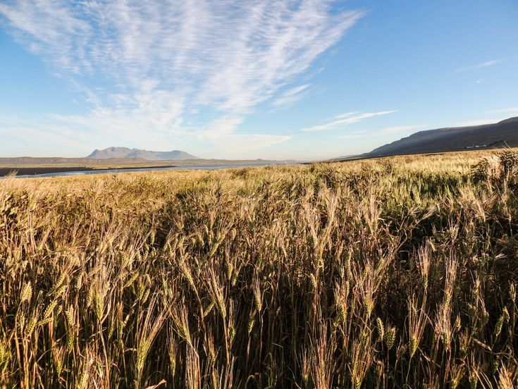 Campo di grano, B. Di Magno. Fotografia e Poster