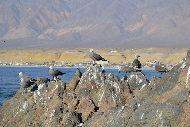 Gaviotas en las rocas del extermo sur de la playa de Hornitos