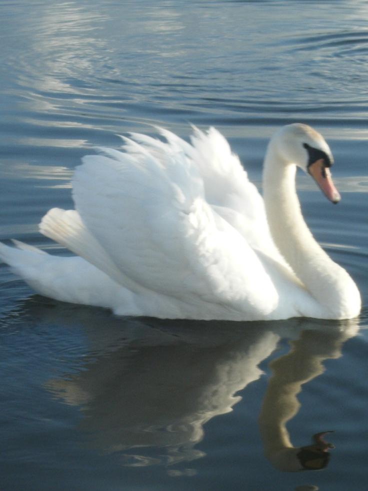 Swan - the Norfolk Broads~Babylon Pond