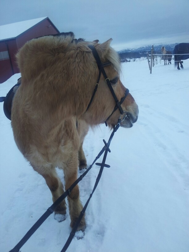 Beautiful Norwegian fjordhorse :)
