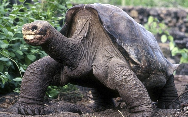 Lonesome George, the last remaining tortoise of his kind, died on June 24, 2012 of unknown causes: Galapago Tortoi, Remain Tortoi, National Parks, Turtles, Giant Tortoi, Tortoises, Galapago Islands, Lonesome George, Animal
