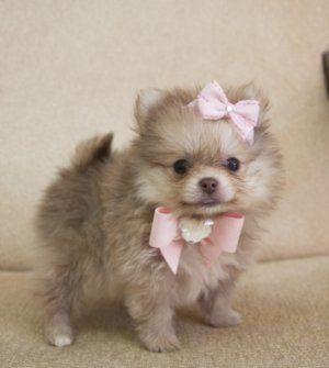 Love Pomeranians: Dogs, Pomeranians Teacups, Pet, Bows, Adorable, Fluffy Teacups Puppies, Pom Pom, Teacups Pomeranians Puppies, Animal