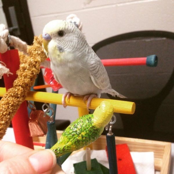 No experience with human speech is necessary for budgerigars to perceive the difference between 'd' and 't', according to a study published May 31, 2017 in the open-access journal PLOS ONE by Mary Flaherty from The State University of New York, Buffalo, USA, and colleagues.