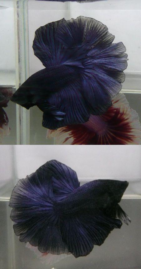 fwbettashm1369880998 - Super Blue OHM Male