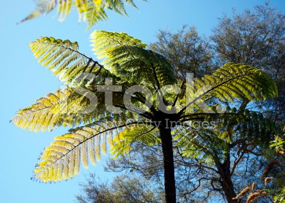 Punga Tree Fern Canopy, New Zealand royalty-free stock photo