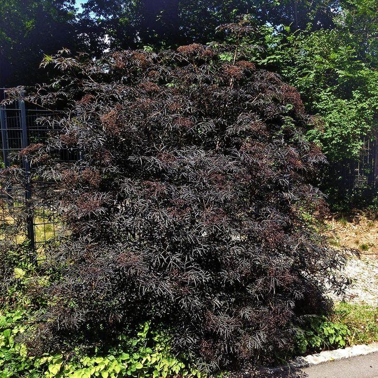 Holunder 'Black Lace'® - Sambucus nigra 'Black Lace' ® Diese neue Holundersorte hat sehr kräftig dunkelrote Blätter, welche auch sehr stark geschlitzt sind. Die stark duftenden Blüten erscheinen ab Mai in großen,...