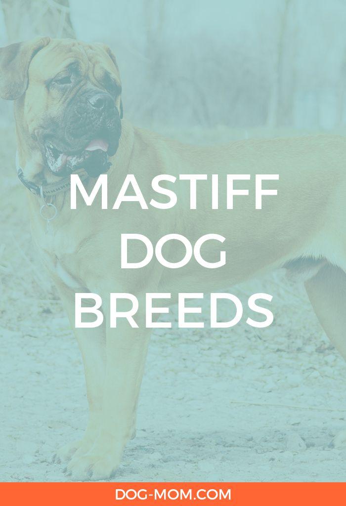 Mastiff Dog Breeds
