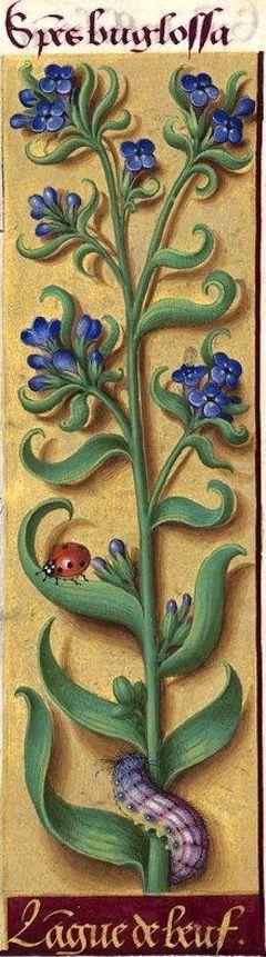 Langue de beuf- Species buglossa (Lycopsis arvensis L. = grippe des champs) -- Grandes Heures d'Anne de Bretagne, BNF, Ms Latin 9474, 1503-1508, f°69r