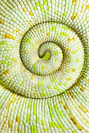 Chameleon Tail - Download From Over 56 Million High Quality Stock Photos, Images, Vectors. Sign up for FREE today. Image: 12720329