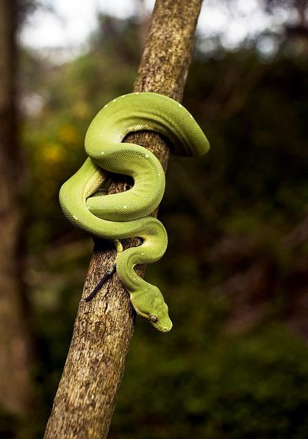 Australia: Aussie Green Tree Snake  - Explore the World with Travel Nerd Nici, one Country at a Time. http://travelnerdnici.com