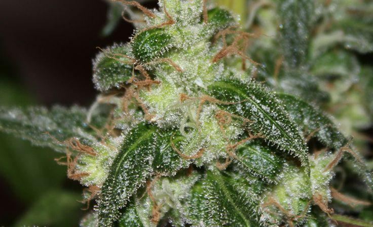 Maximizar la Producción de Resina en el cultivo de Marihuana