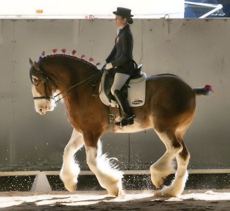 Clydesdales do Dressage Too! I am so happy to see that people are realizing that all horses can be trained,I was once asked to leave a competion as I rode a loud 18 hands paint,we were magnificent.