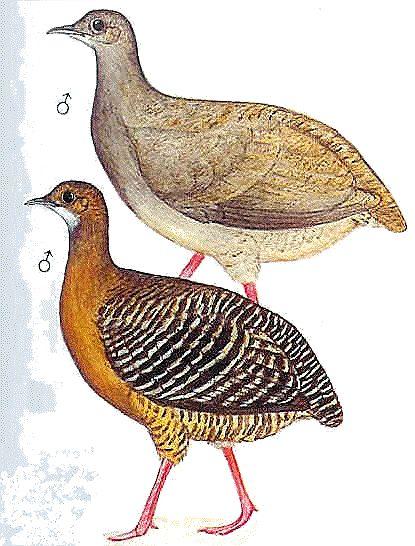 Bellas Aves de El Salvador: Crypturellus cinnamomeus (tinamú canelo) Residente