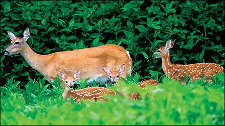G9492 Enhancing White-tailed Deer Habitats on Your Property: Evaluating Habitat | University of Missouri Extension