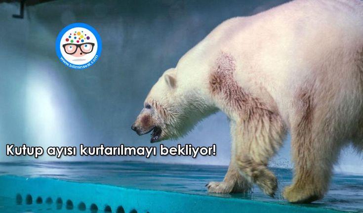 Kutup Ayısı Kurtarılmayı Bekliyor! - https://www.biliminsesi.com/kutup-ayisi-kurtarilmayi-bekliyor/ - Animals Asia, Animals Asia yöneticisi Dave Neale, Dünyanın en mutsuz kutup ayısı, dünyanın en mutsuz kutup ayısı pizza, Grandview Centre mutsuz kutup ayısı, Kutup ayıları, Kutup ayıları nerelerde yaşar, Kutup Ayısı Kurtarılmayı Bekliyor, pizza dünyanın en mutsuz kutup ayısı - Mehran Mahouti