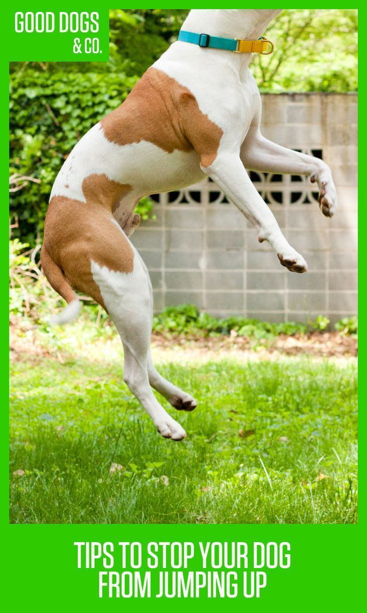 Whether its a puppy or an adult dog, jumping up can be annoying and even unsafe. Here are some easy tips to stop your dog from jumping!