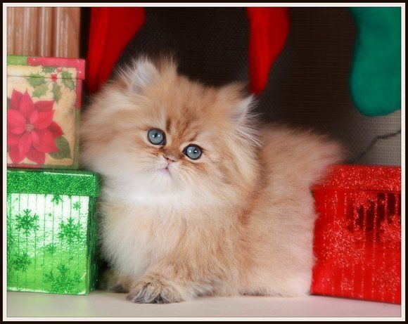 Pure Gold Teacup Persian Kitten - Ultra Rare Persian Kittens For ...