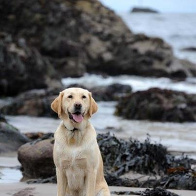 Guide Dogs For The Blind Puppy Raising Uk