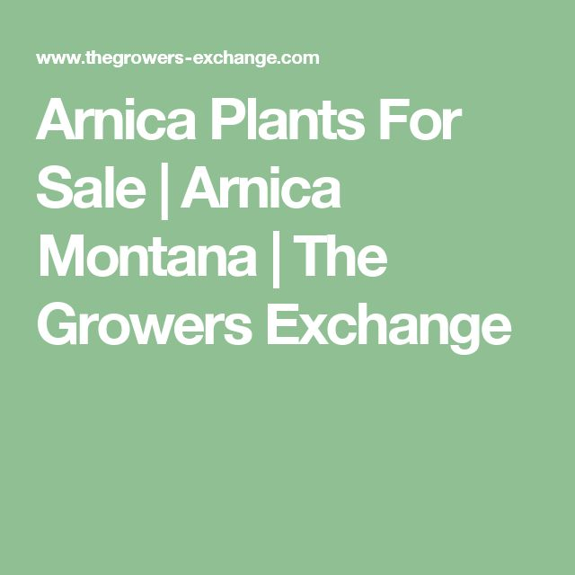 Arnica Plants For Sale |  Arnica Montana  | The Growers Exchange
