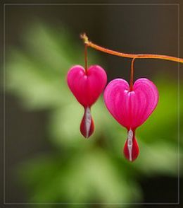 The beautiful BLEEDING HEART FLOWER. The name at first might sound morbid, but when you actually see them you understand the meaning. It is the story of the love of an old woman for an orphan child. Click on to this website and you will read a heartwarming story....Pixar should make it into a movie!