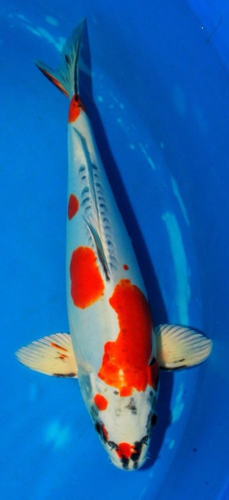 112 best images about koi on pinterest gardens koi for Koi tank size