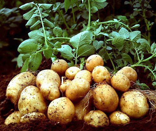 Как да получим 15 килограма картофи само от 1 картоф на 4 квадрата площ? | Здравни съвети Framar.bg